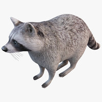 raccoon animal modelled 3d model