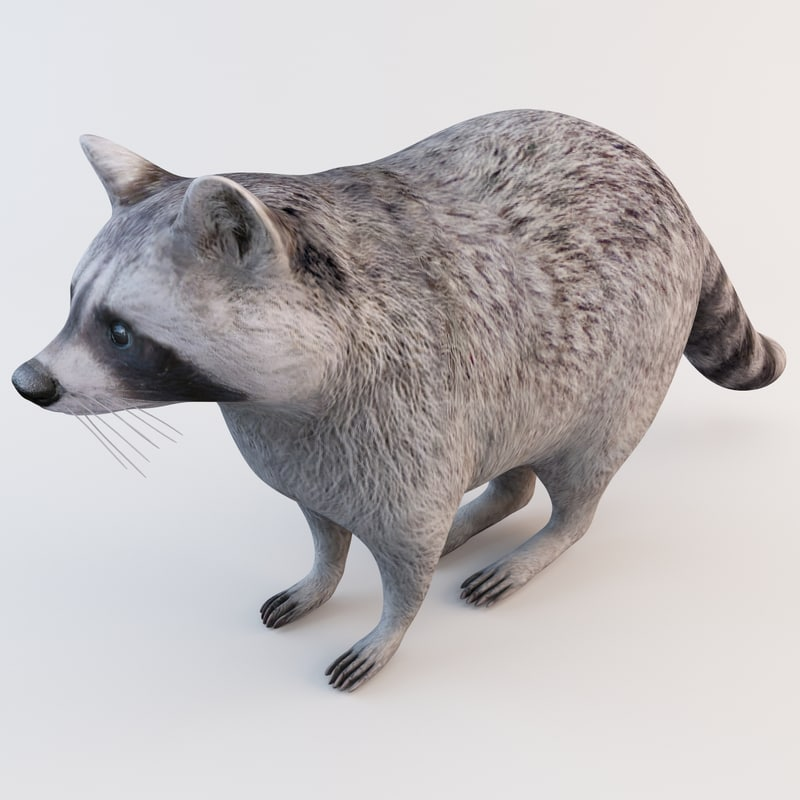 raccoon animal modelled 3d model