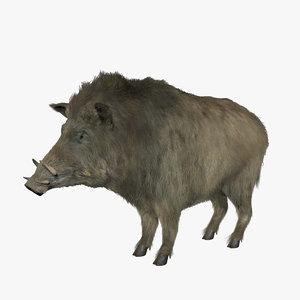 hair boar 3d c4d