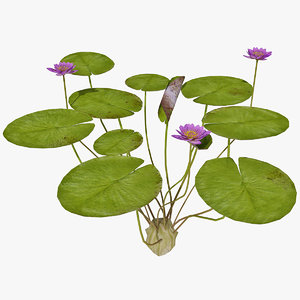 of water lily