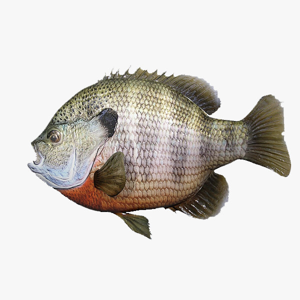 fish bluegill 3d max