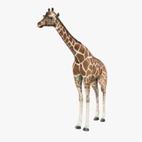 maya realistic giraffe