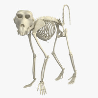 Baboon Monkey Skeleton