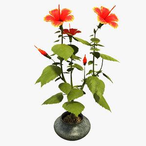 hibiscus max