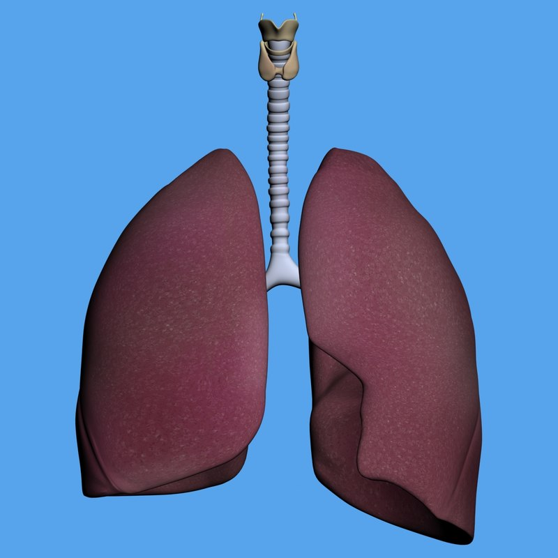 human lungs max