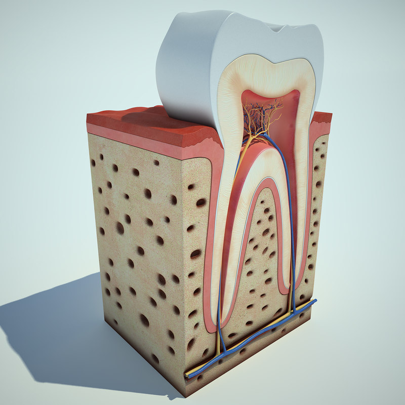 tooth anatomy max