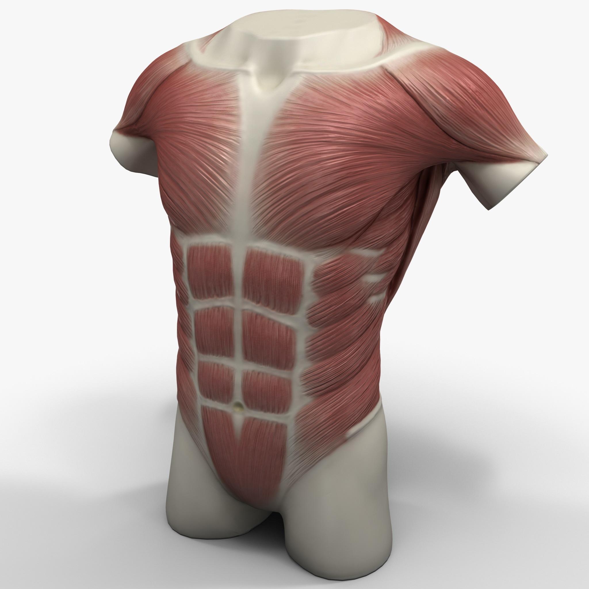 torso muscles 3ds