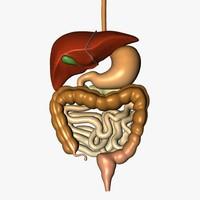digestive esophagus liver 3d c4d