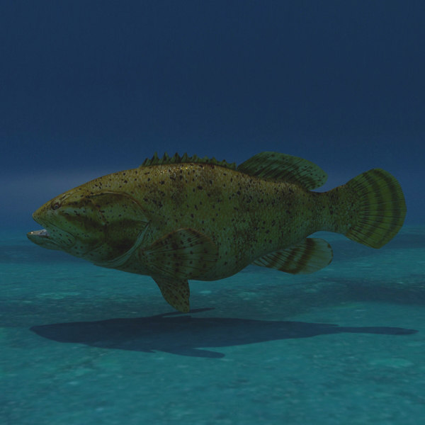max goliath grouper