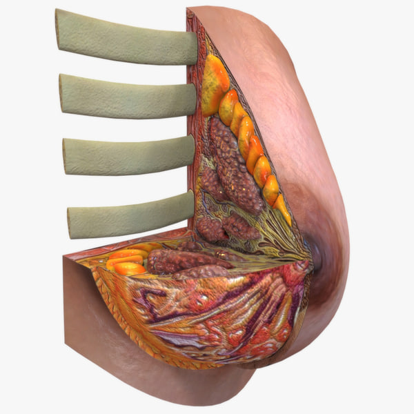 female breast anatomy 3d 3ds