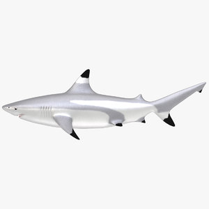 blacktip shark 3d model