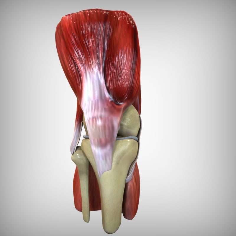 3d model human knee anatomy