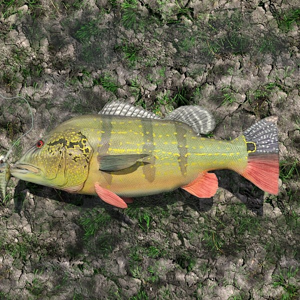 fish speckled peacock bass 3d model