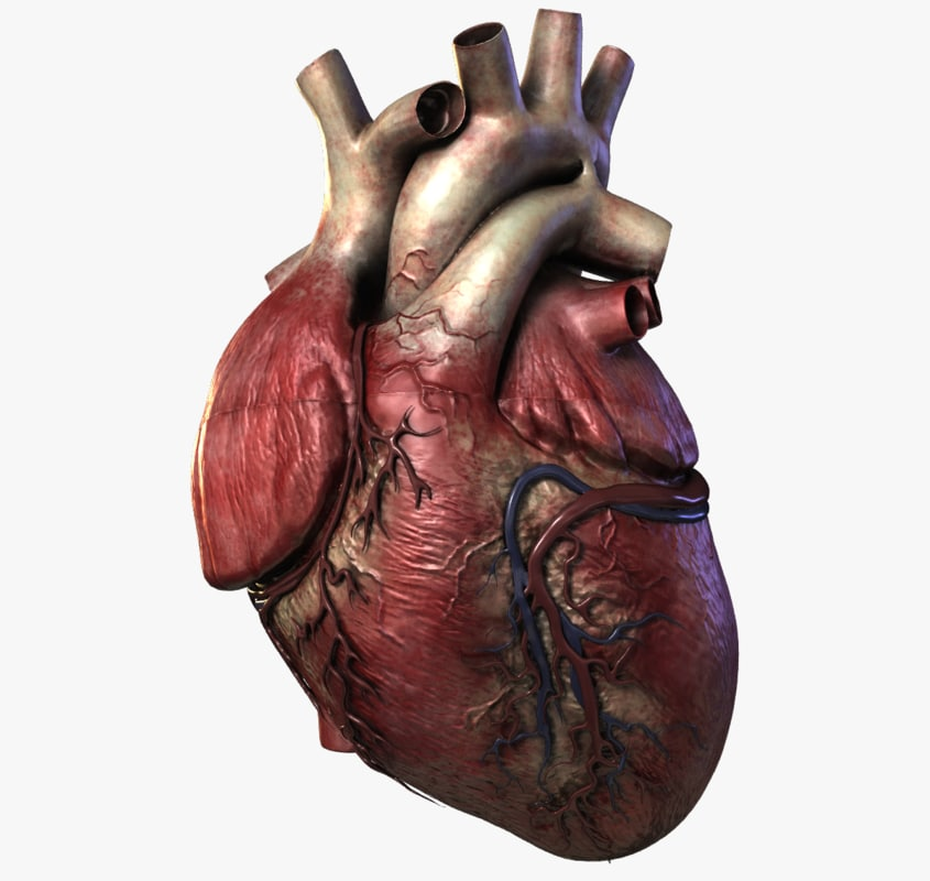 human heart 3d models | turbosquid, Human Body