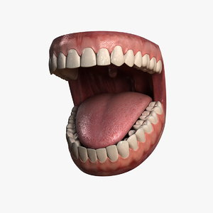 3d model human jaw