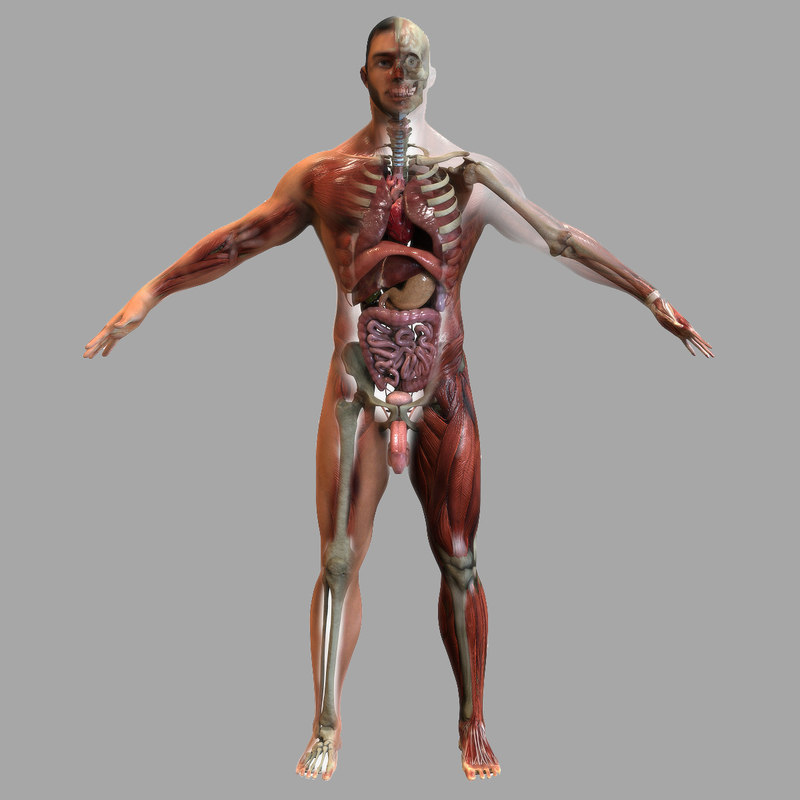 Male Anatomy 3d Model