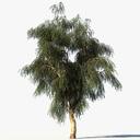 Eucalyptus 3D models