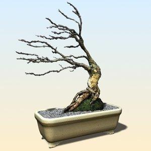 x acacia nigrescens decorative