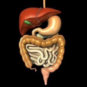 digestive esophagus liver 3d max