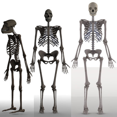 skeletons homo sapiens 3d model