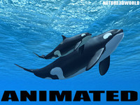 killer whale mother calf ma