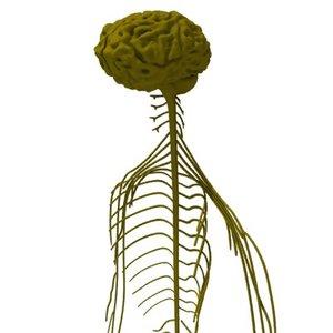 3d model nervous brain