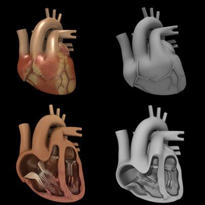 human heart section 3d model