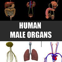 3ds male organs liver pancreas