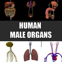 3ds male organs liver pancreas
