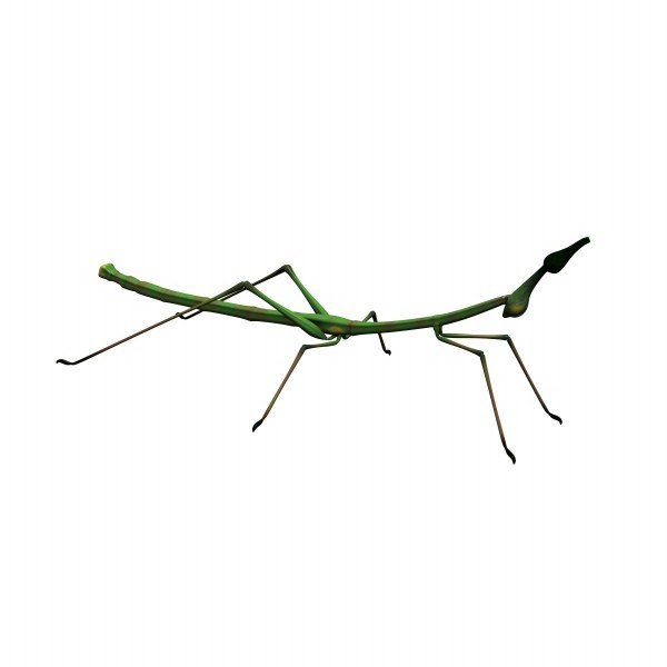 max prosarthria stick insect
