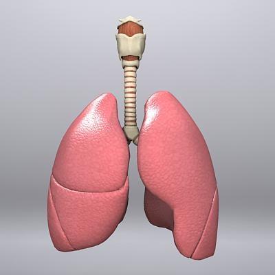 3ds max larynx trachea bronchi