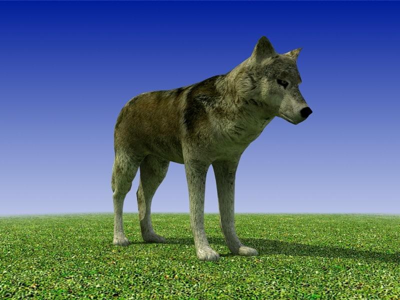3d model gray wolf