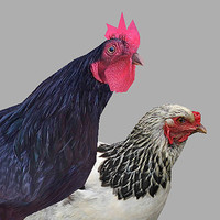 Low Poly Animals - Rooster & Hen