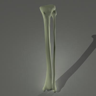 3d human skeleton fibula tibia