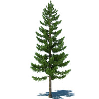 Pine Tree A