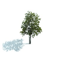 maya sidewalk tree