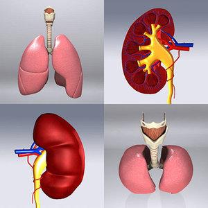 human kidney 3d model