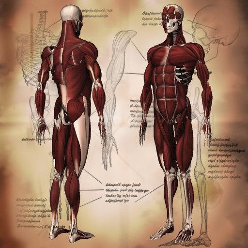 obj human anatomy