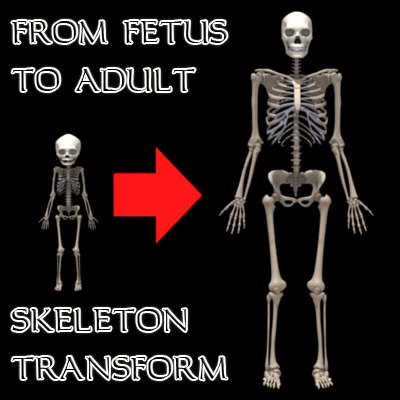 fetus adult skeleton 3d model
