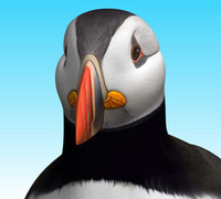 obj atlantic puffin