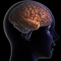 3d human brain 2