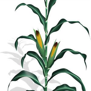 corn 3d obj