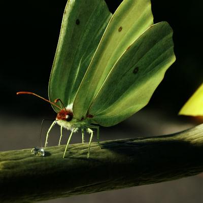ma brimstone butterfly animation