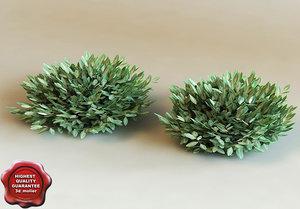 euonym fortunei 'harlequim' modelled 3d model