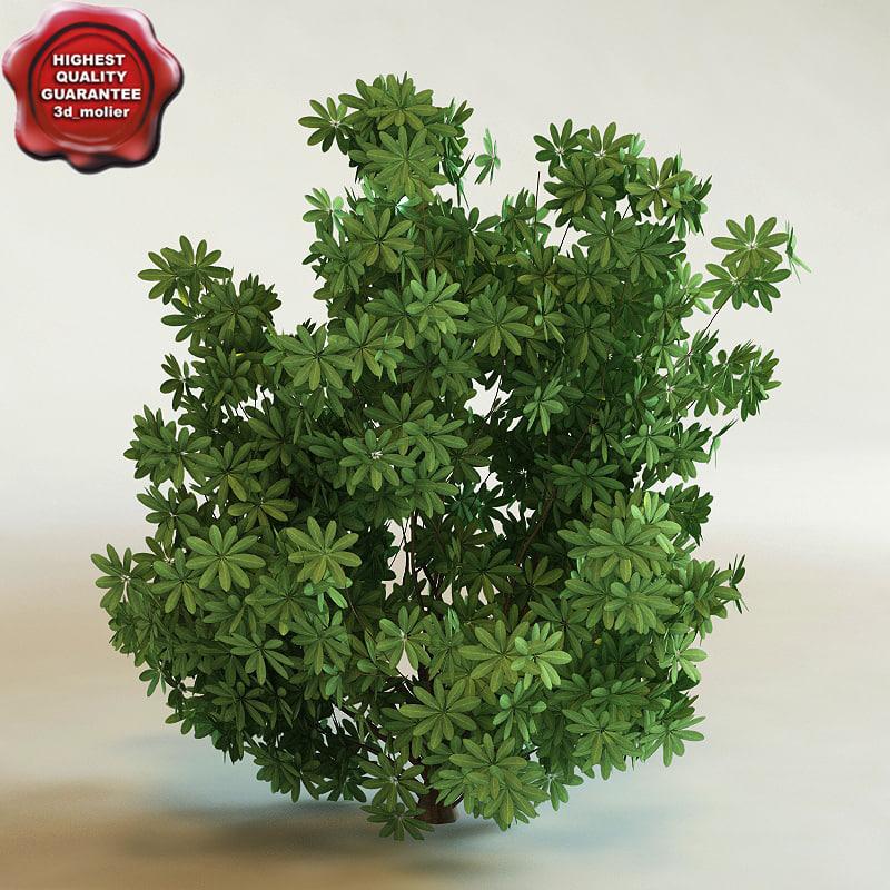 3d schefflera arboricola 'trinette' modelled