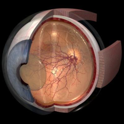 eye segmented anatomically 3d ma