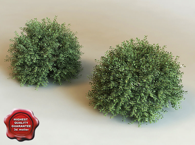 3d model ilex crenata modelled