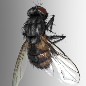 3d photorealistic housefly