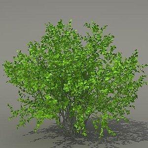 max busch shrub