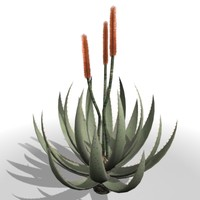 Cape Aloe